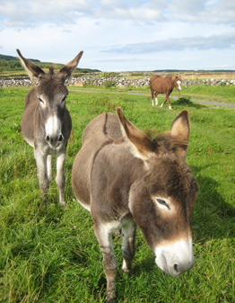 Slieve Elva Farmhouse Donkeys